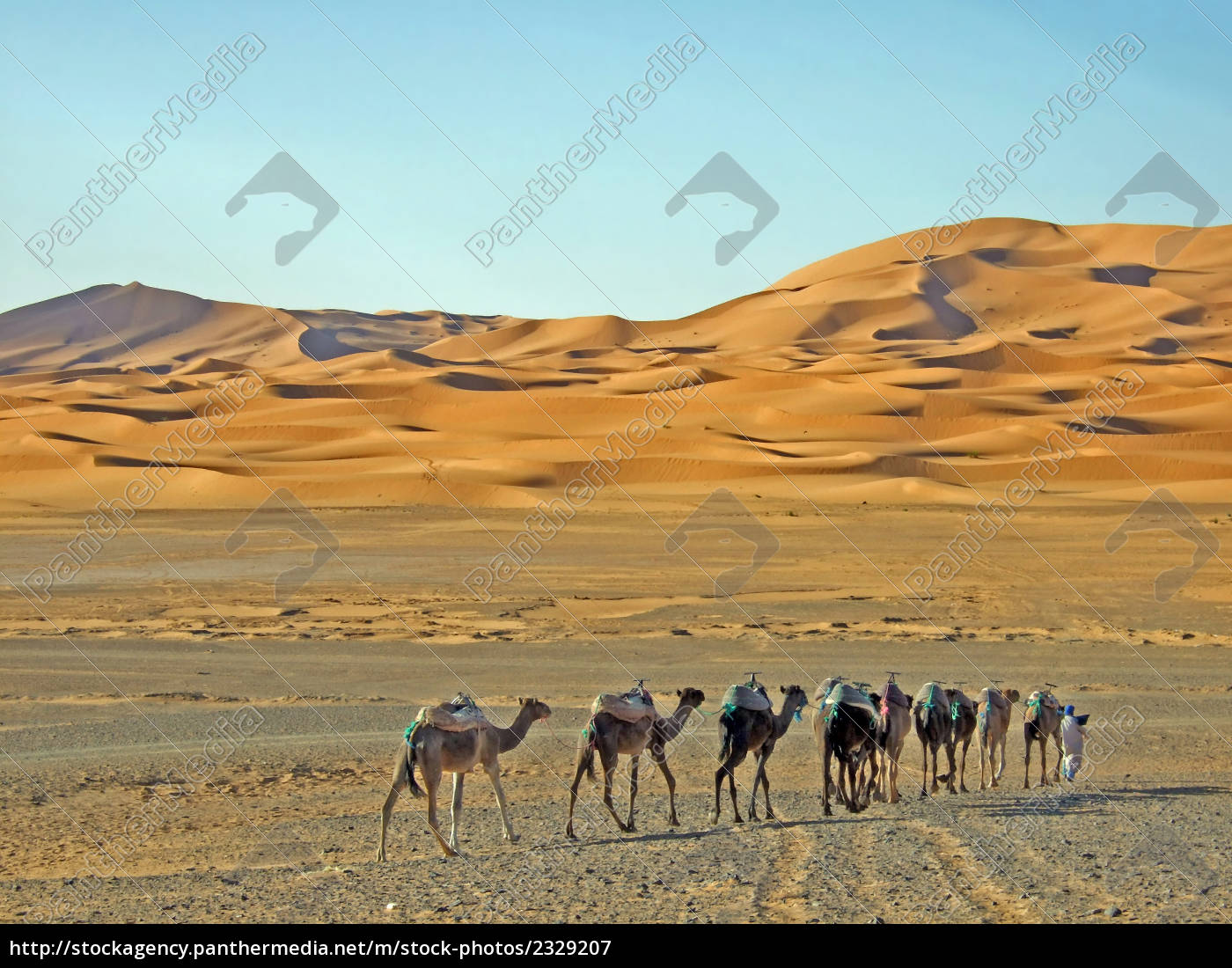 camels, in, the, sahara - 2329207
