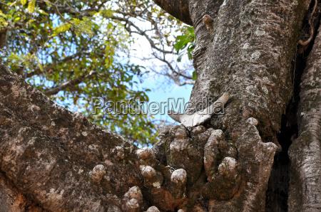 madagascar holy tree rova palace zebu