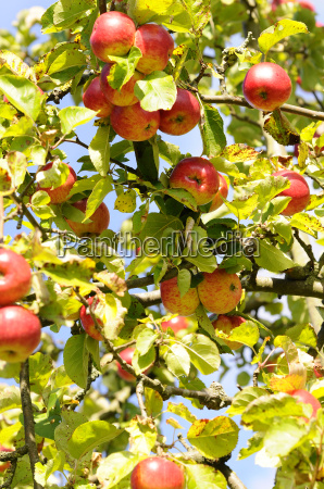 fallobst apple tree
