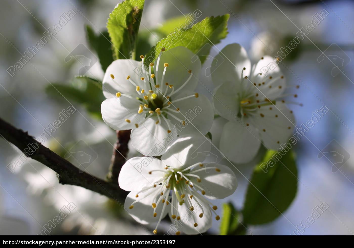 translucent, cherry, blossoms - 2353197