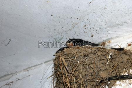 swallow in nest