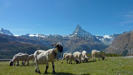 sheep in front of matterhorn 2