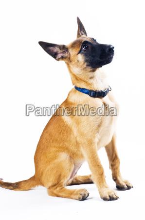 malinois puppy sitting