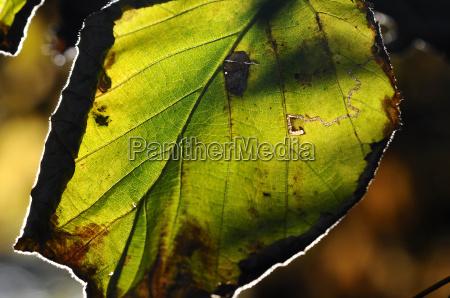 background autumnal leaf