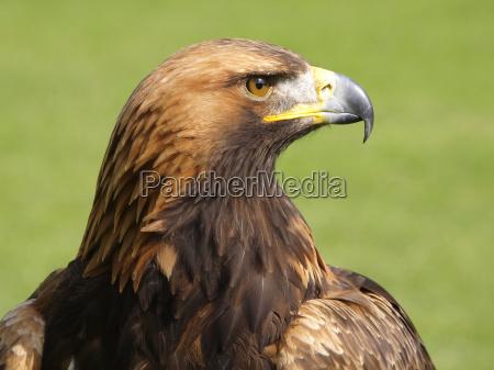 bird birds raptor eagle