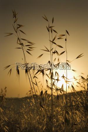 oat plants at sunset