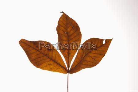hickory leaves on white