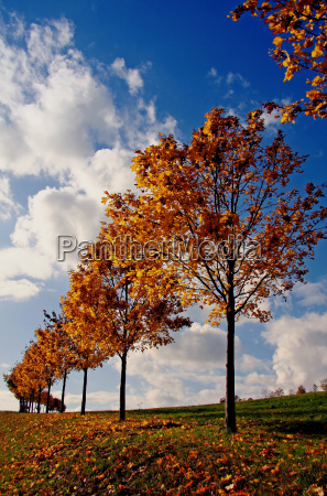 tree leaves maple colourful scenery countryside