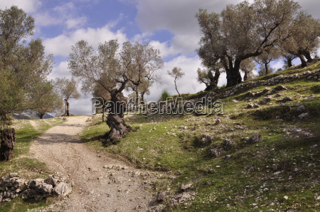 footpath through olive grove