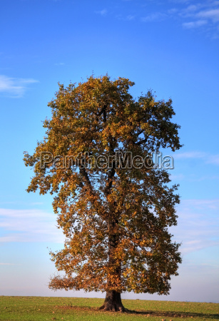 tree leaves deciduous tree flora oak