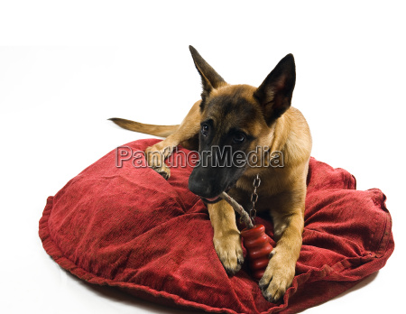 malinois on red pillow