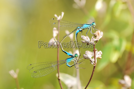 mating damselflies