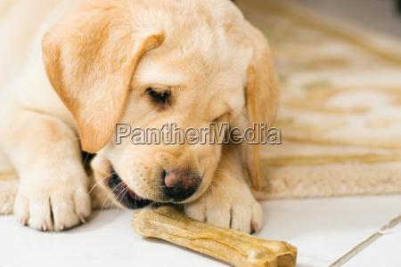 hundelwelpe eats dog bones