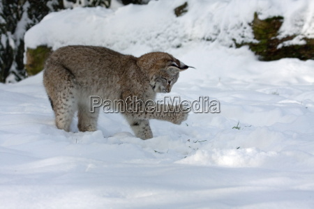 young lynx in the snow
