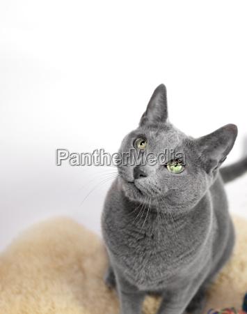 portrait of a russian blue cat