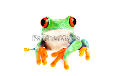frog isolated on white for banner