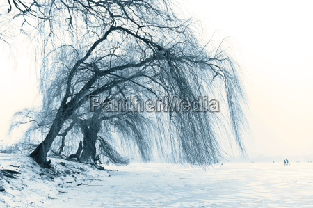 weeping willow in the winter alster