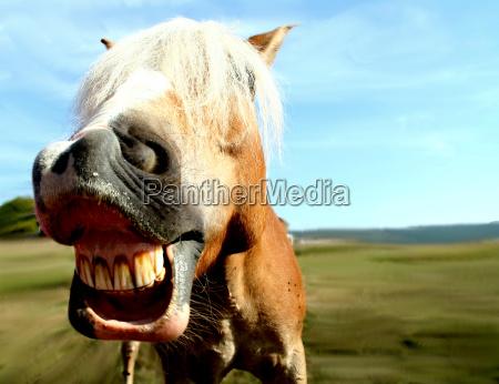 pferdegrimasse