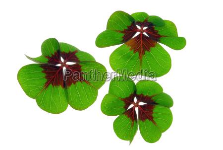 lucky clover four leafed clover