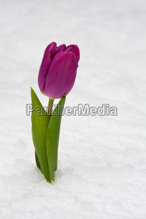 lila tulpe im frischen schnee