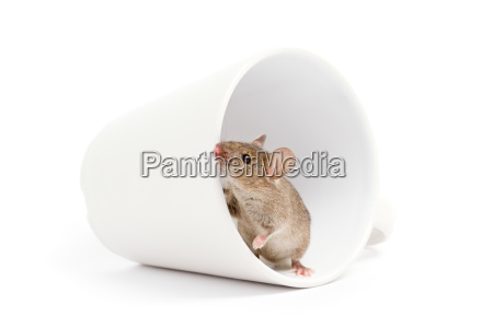 mouse in a cup isolated on