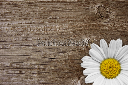 daisy with wooden background