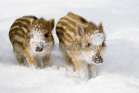 baby boar in the snow
