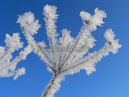 umbel with hoarfrost