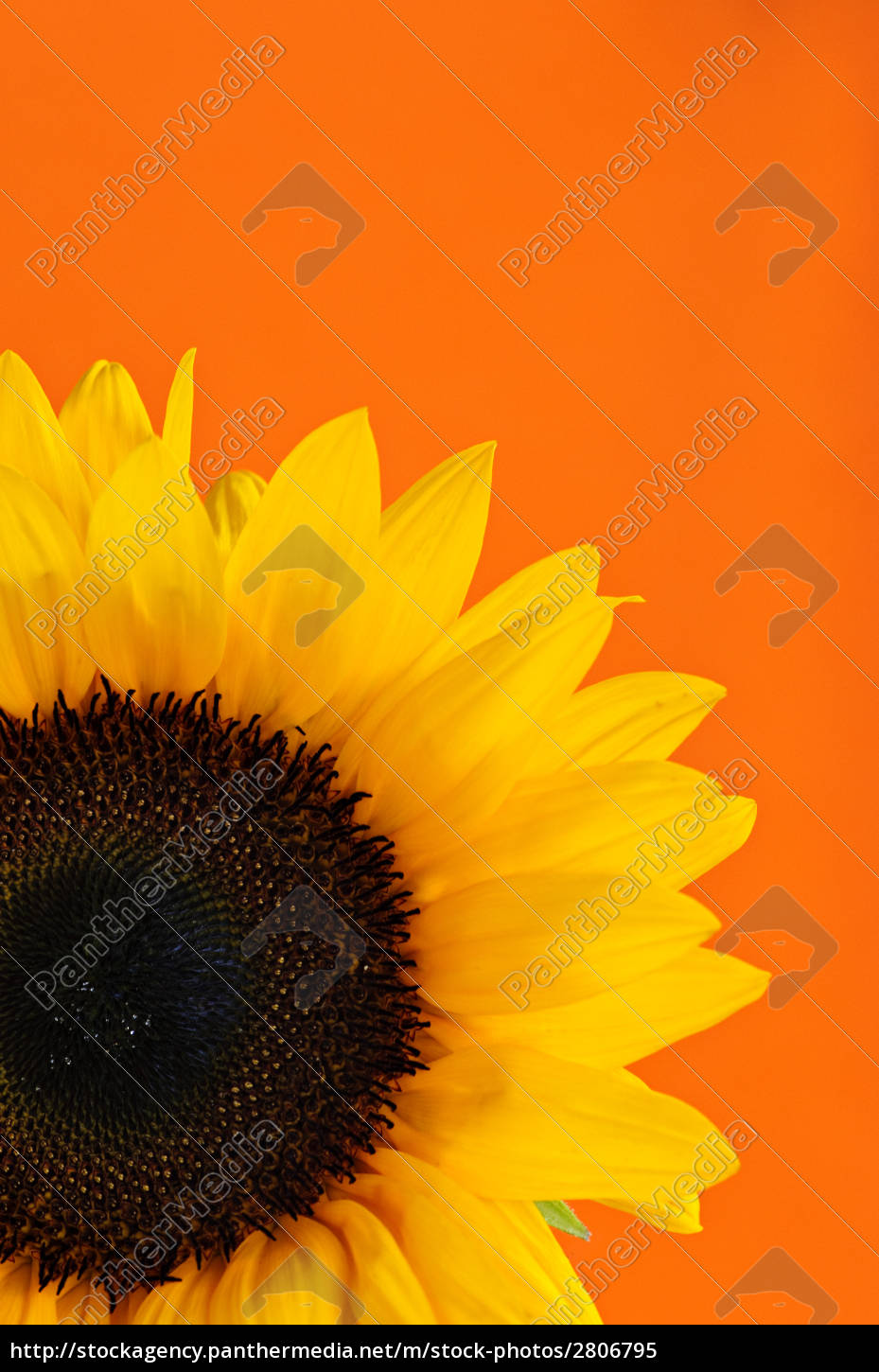 sunflower, closeup - 2806795