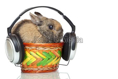 hare hears mp3 music with headphones