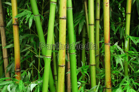 bamboo, forest - 2807905