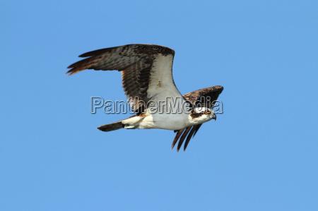 osprey, (pandion, haliaetus) - 2808433
