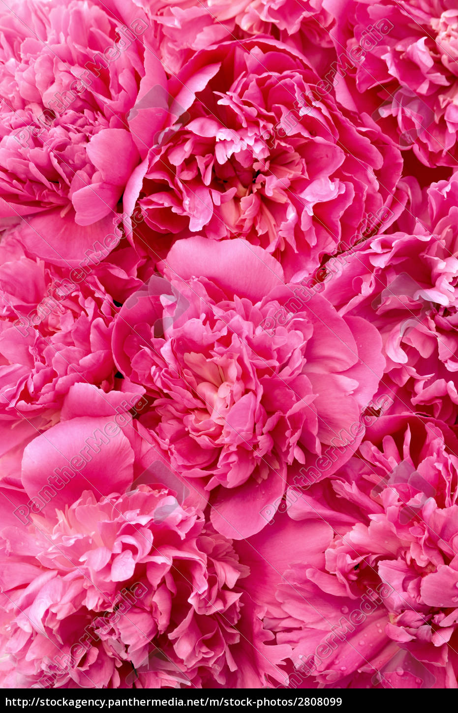peony, flower, heads, -, background - 2808099