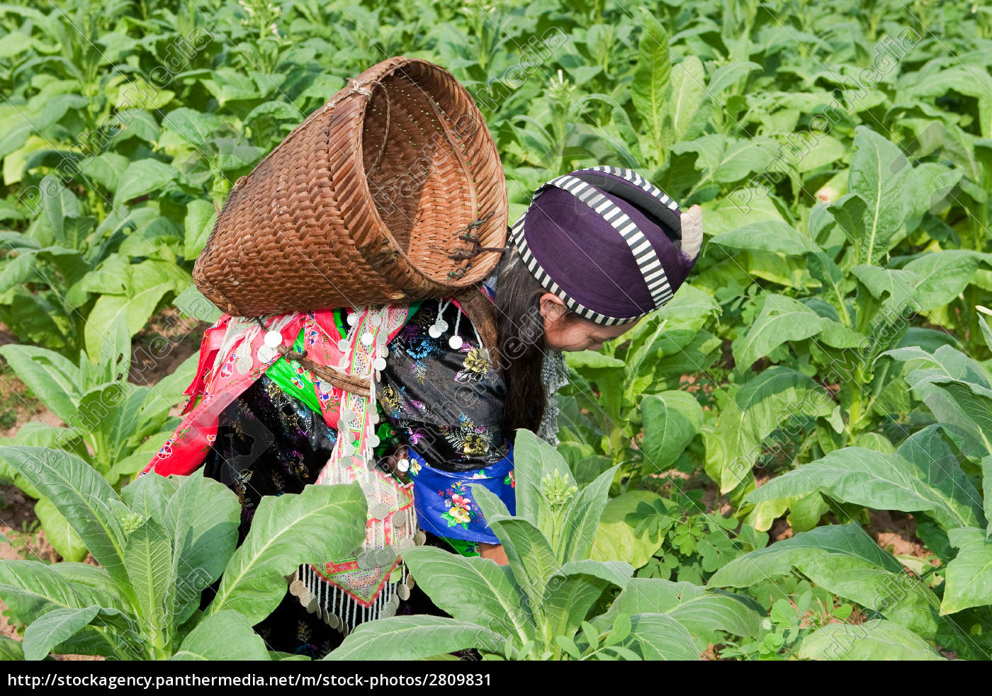 hmong, of, asia, harvests, tobacco - 2809831