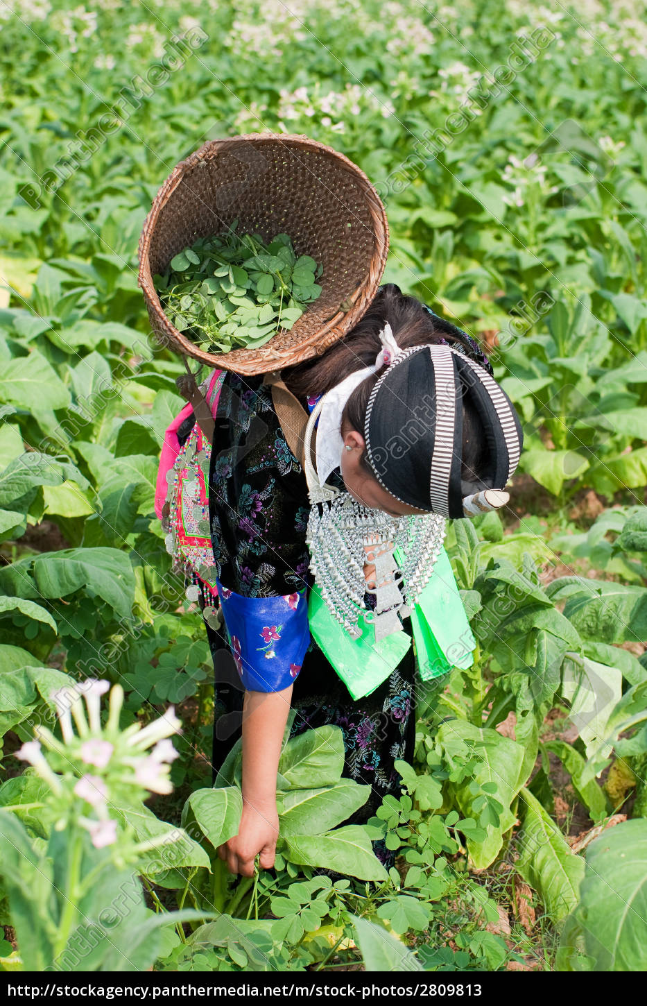 hmong, of, asia, reaps, tobacco - 2809813