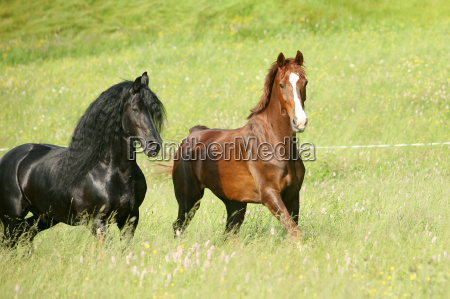 friese, trot - 2813395