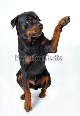 rottweiler, say, - 2813329