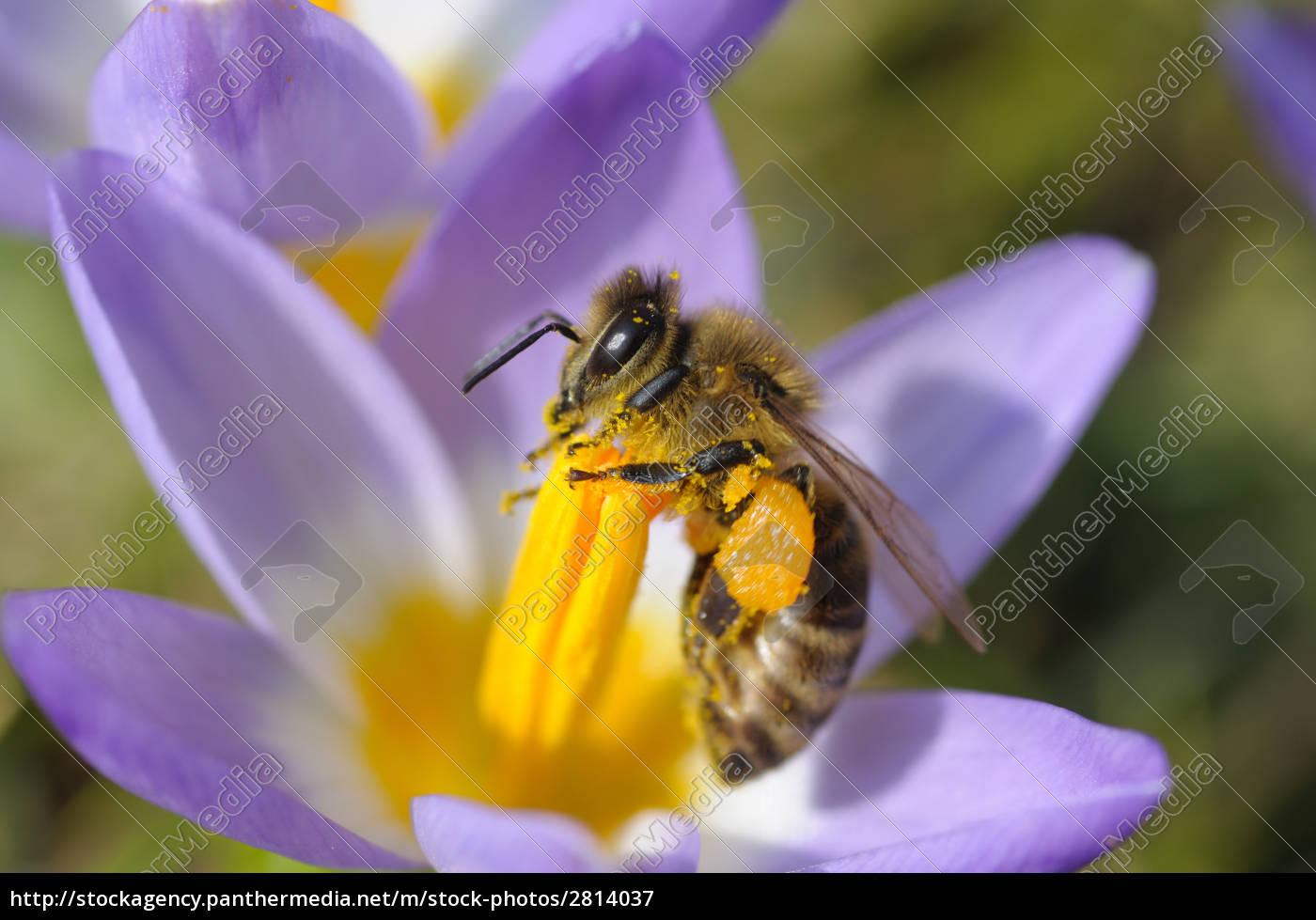 bee, on, crocus - 2814037