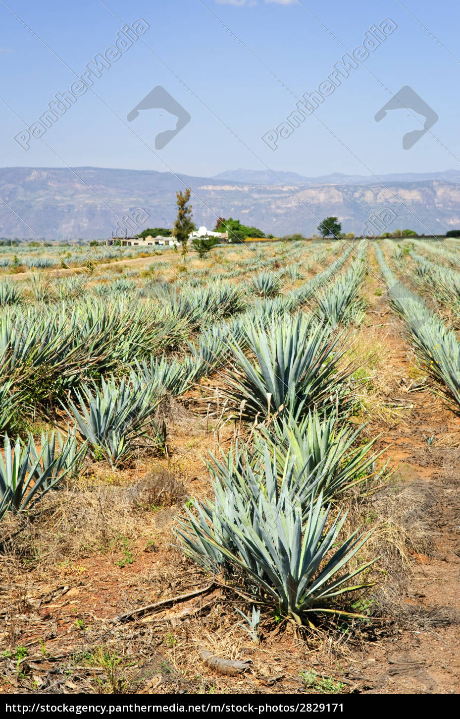 agave, cactus, field, in, mexico - 2829171