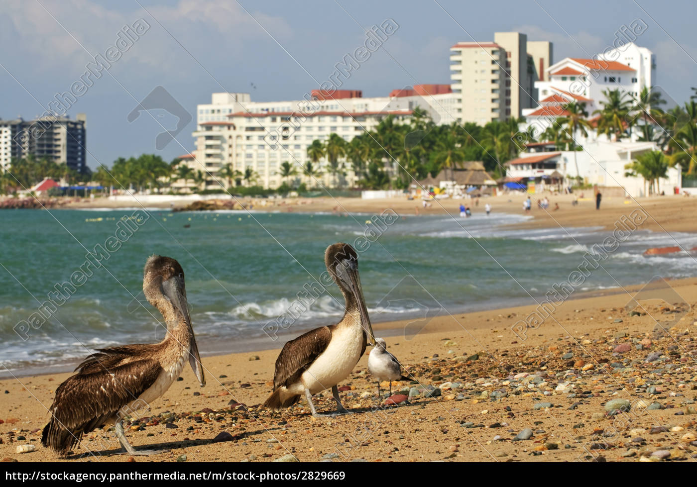pelicans, on, beach, in, mexico - 2829669