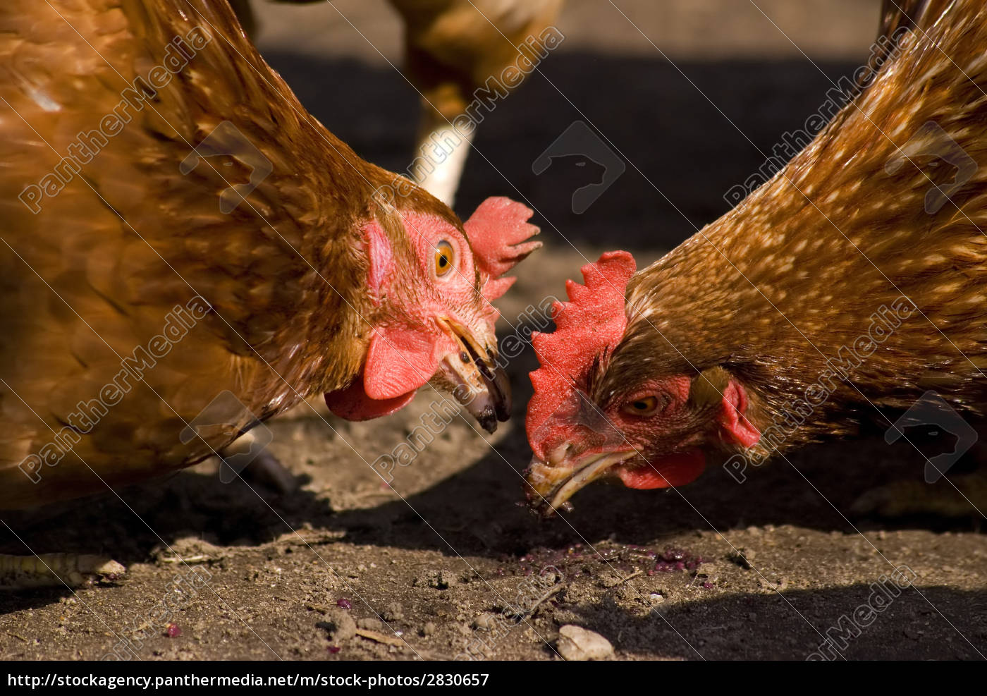 two, chicken - 2830657