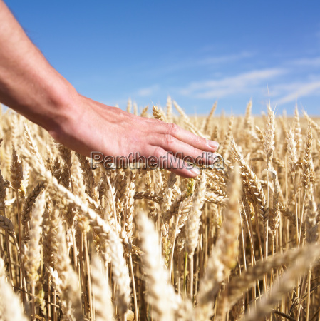 hands and wheat