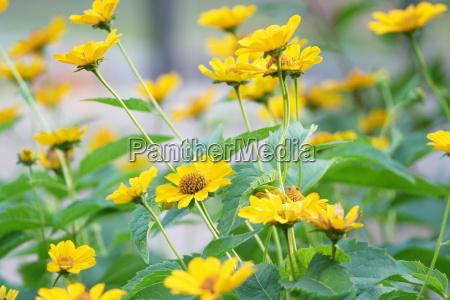 beautiful yellow flower field