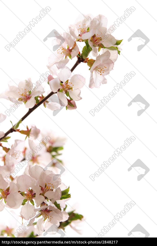 pink, cherry, blossom - 2848217