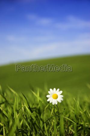 white, daisy - 2848549
