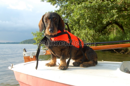 dachshund with lifejacket 3
