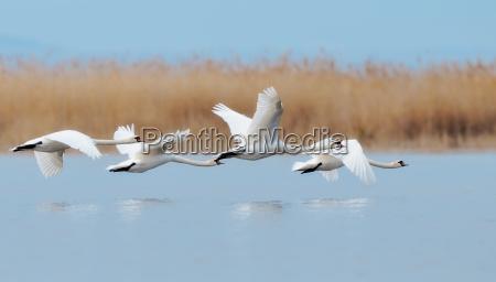 swans, in, flight - 2864477