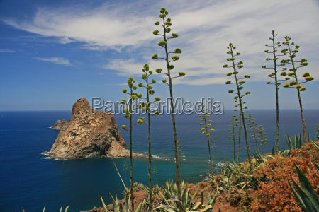 blooming, agave, -, coast, tenerife - 2883543