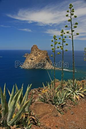 blooming, agave, -, coast, tenerife - 2883643