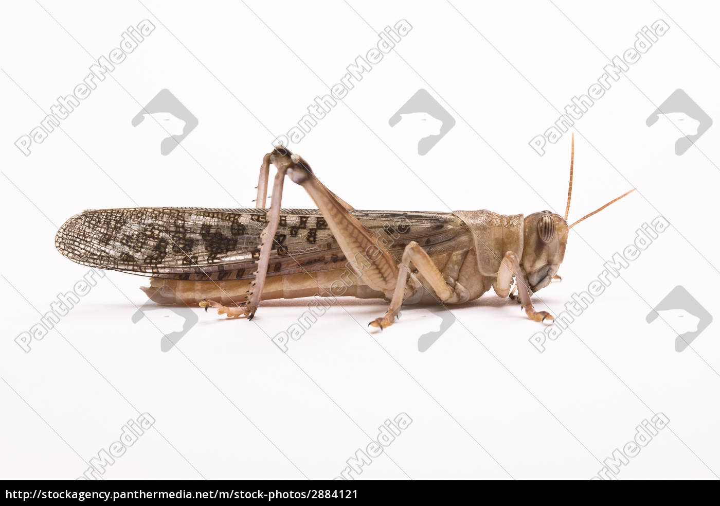 grasshopper - 2884121